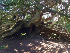 800 Year Old Yew Tree at Crom Estate
